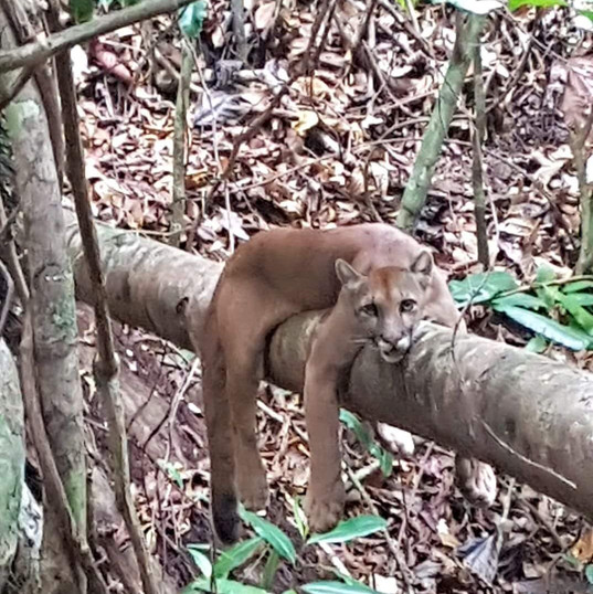 Puma sighting on our Corcovado Tour