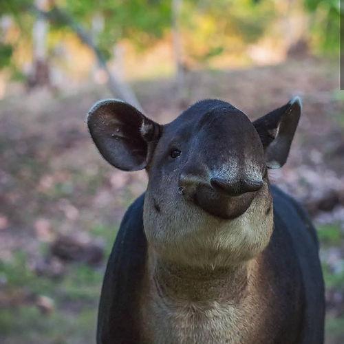 tapir costa rica.jpg