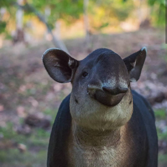 Tapir, The Jaguars Jungle Biological Station