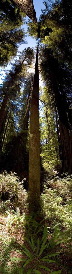Big Sur Redwoods #3 2008