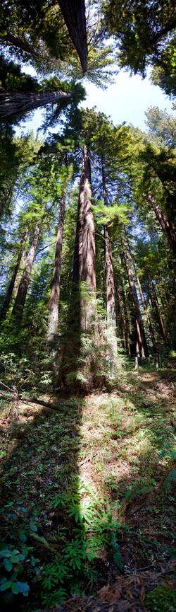 Redwoods, Avenue of the Giants #2