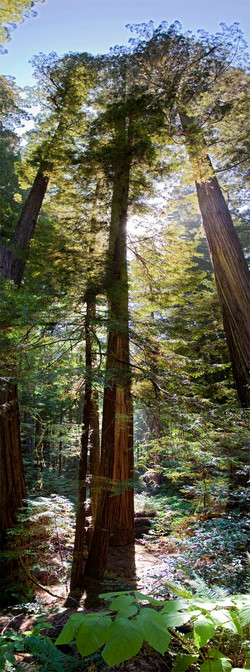 Redwoods, Avenue of the Giants #4