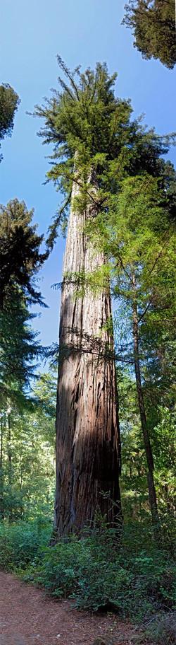 Redwoods, Avenue of the Giants #1