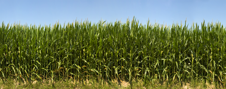 Monticello Indiana Corn- detail 2010