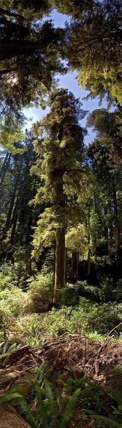 Big Sur Redwoods #1 2008
