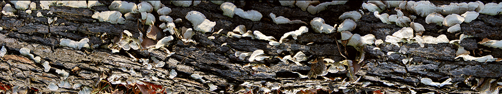 Mushrooms of a Fallen Tree 2007