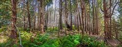 Humbolt Redwoods #2, CA