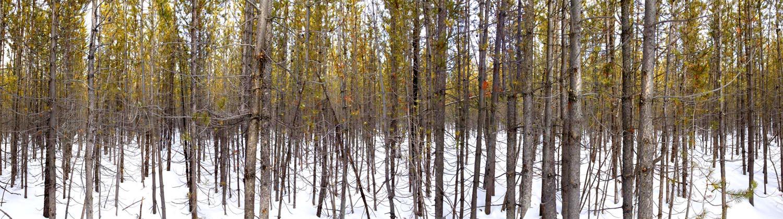 Jackson Hole Trees 2013