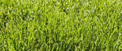 5-3-16 9 am Grass #1 detail