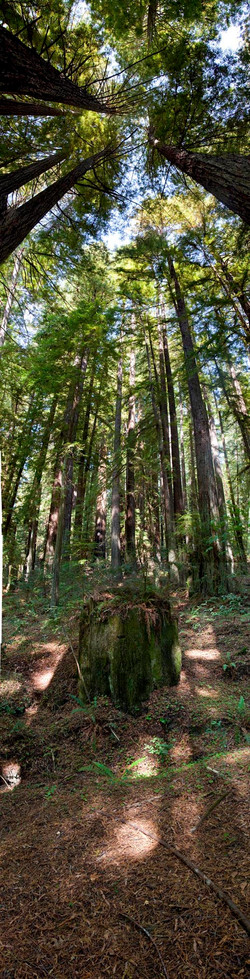 Redwoods, Avenue of the Giants #6