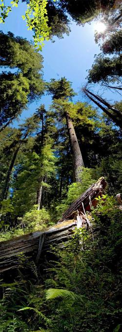 Big Sur Redwoods #2 2008