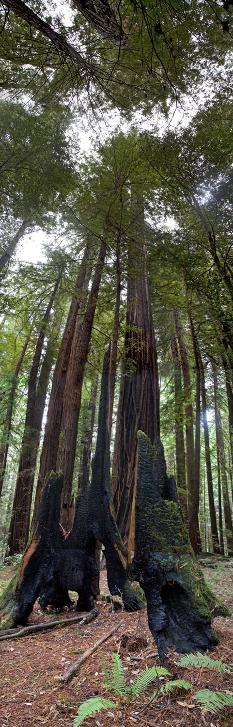 Redwoods, Avenue of the Giants #10