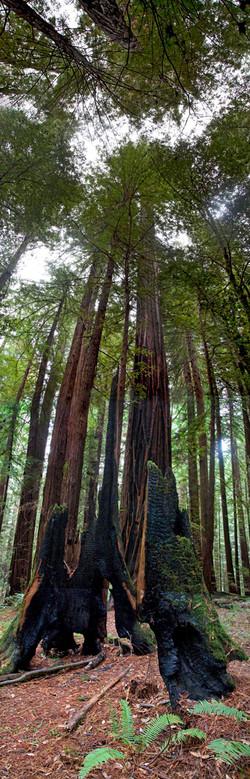 Redwoods, Avenue of the Giants #10