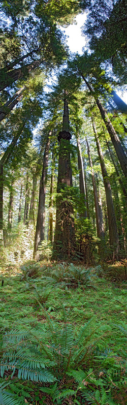 Redwoods, Avenue of the Giants #7