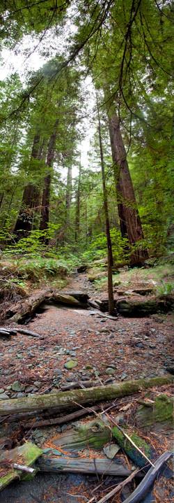 Redwoods, Avenue of the Giants #9