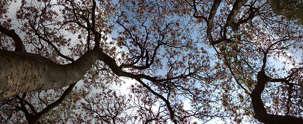 Magnolia Tree 2008