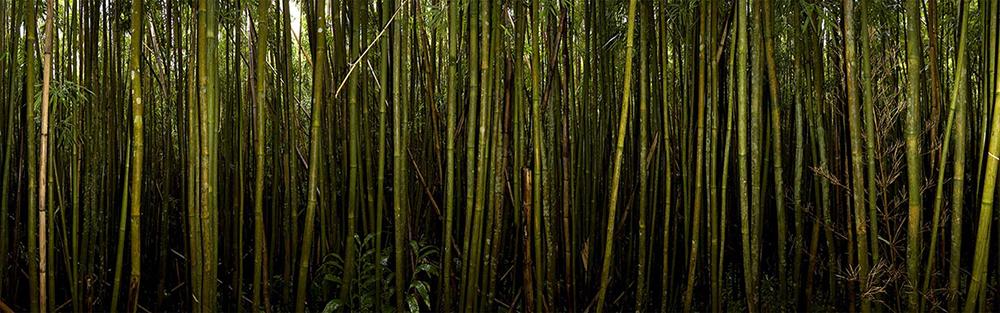 Bamboo at Round Top 2008