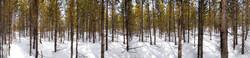 Jackson Hole Trees #2 2013
