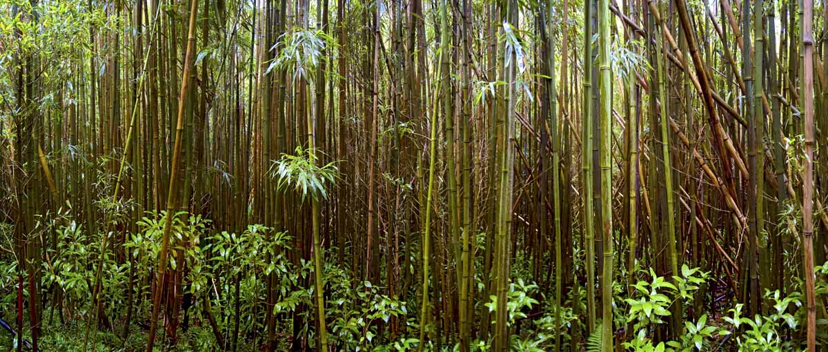 Round Top Bamboo Forest #1 2008
