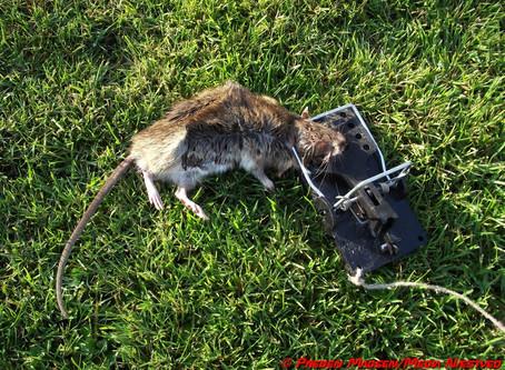 Den nye affaldssortering giver rotterne mad på bordet.