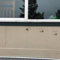 Bear tracks on house
