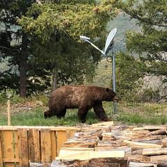 Large bear in yard
