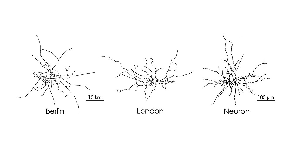 City public transport networks and the nerve cells within our brains show remarkable similarities despite their tremendous differences in scales. What can we learn from the highly efficient transport with in our neurons?