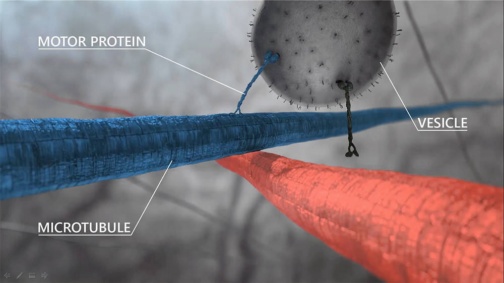 Transport routes within body cells. Motor proteins (kinesins) transport cellular cargo (e.g. vesicles) across the cellular road system consists among other components of microtubules.