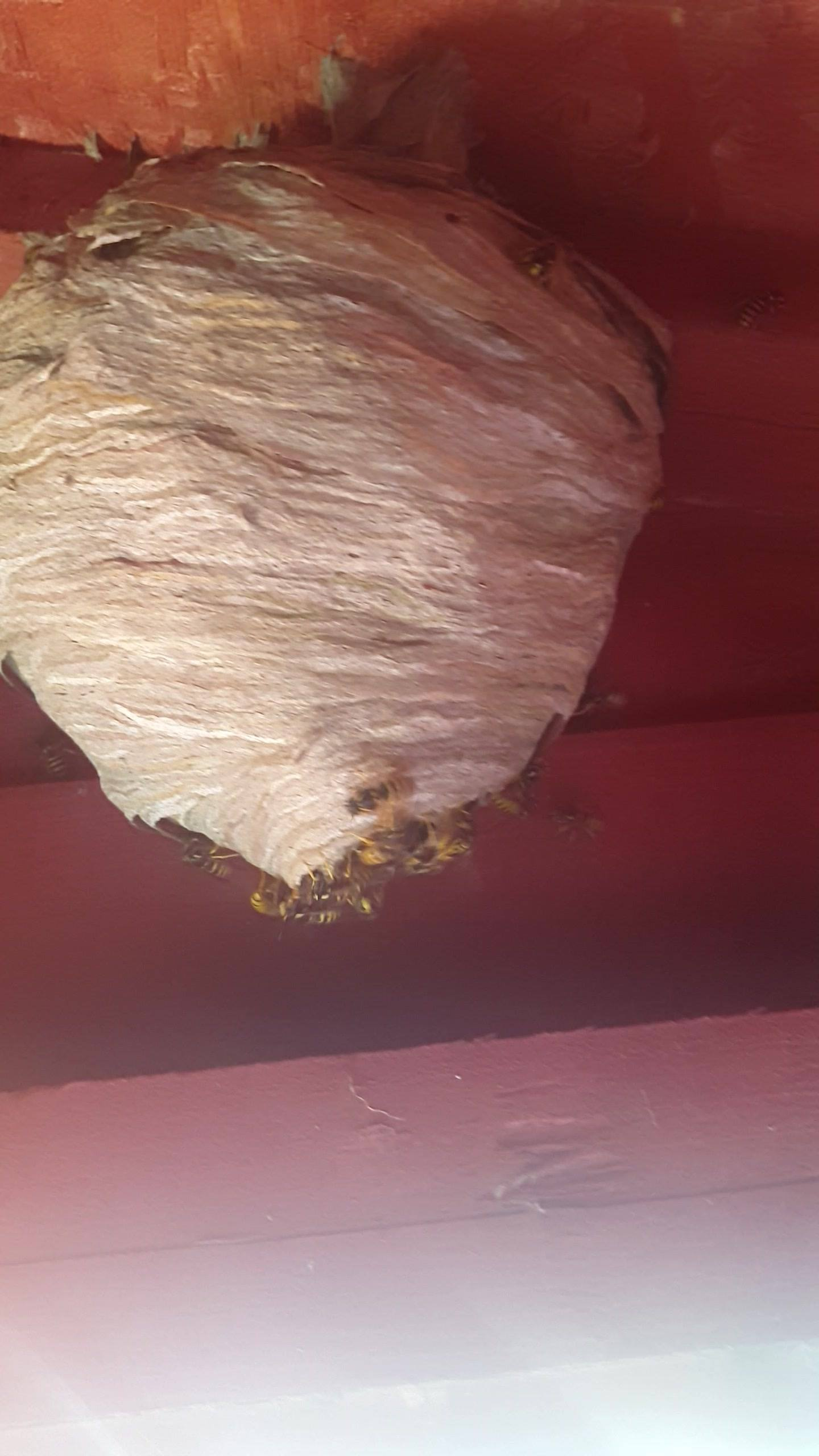 Big wasps nest removed from a shed today.. These nests are get bigger and more aggressive.. Pm or call 07759068929.