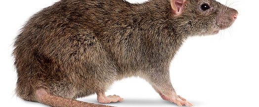 page pest control rats and mice