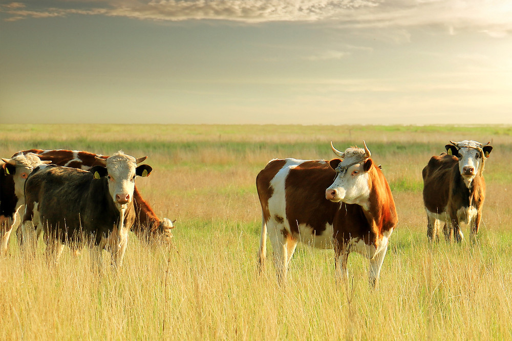 Cows foraging in a pasture