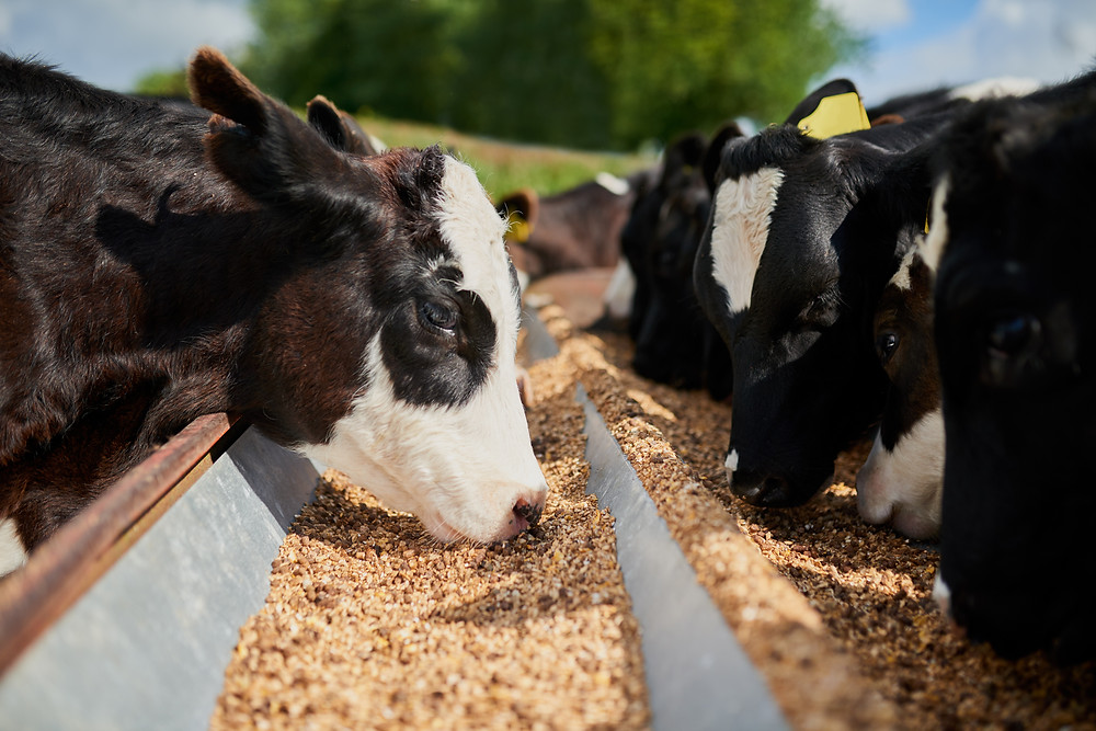 Cows eating processed livestock feed