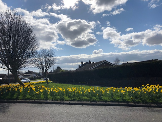 ITPAS Whaley lane Daffodils 2