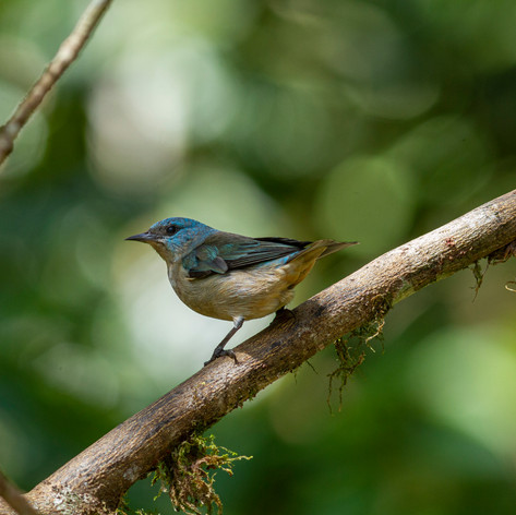 Black-legged Dacnis female