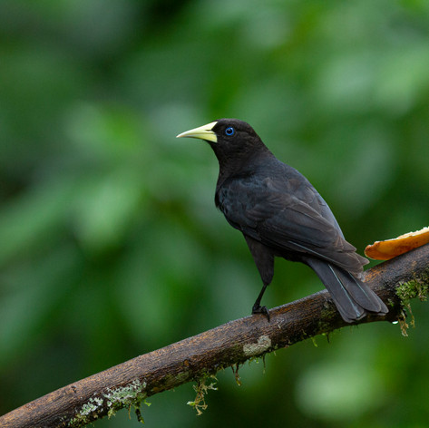 Red-rumped Cacique