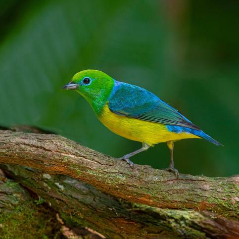 Blue-naped Chlorophonia