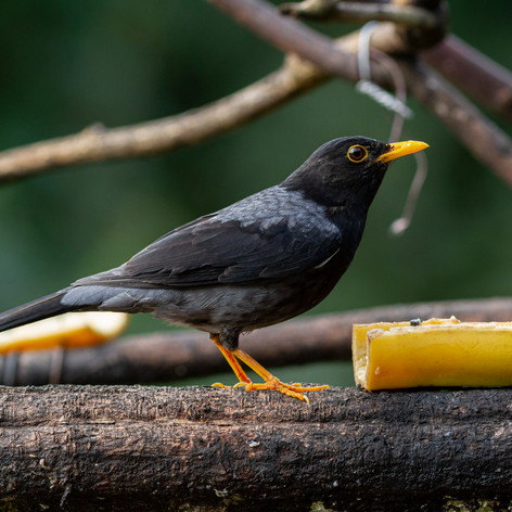 Yellow-legged Thrush | Ninho da Cambacica Lodge