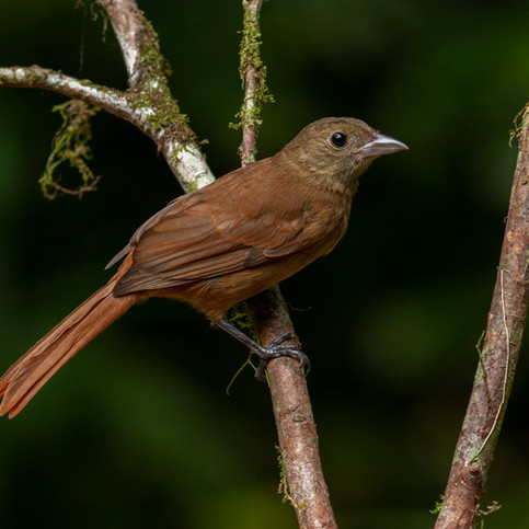 Ruby-crowned Tanager female