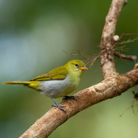 Rufous-headed tanager female