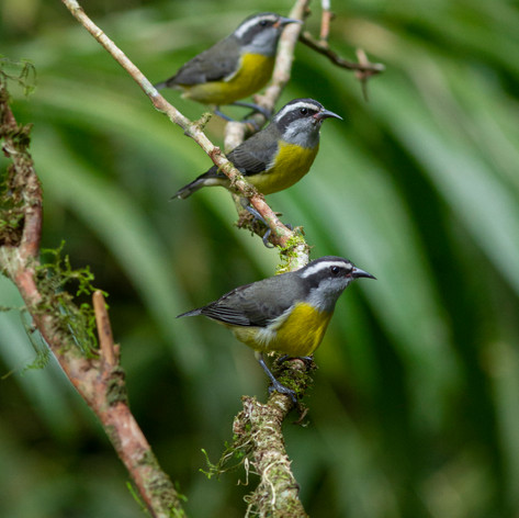 Flock of Bananaquits