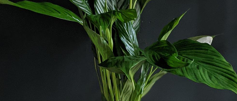 Spathiphyllum aka Peace Lily