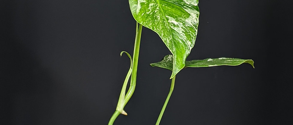 Monstera variegata 'A'