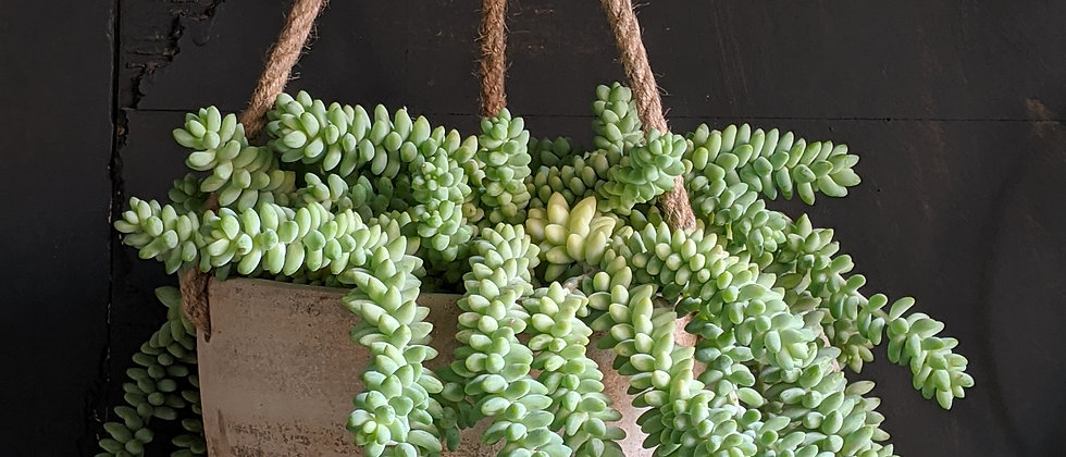 Sedum morganianum 'Burrito' indoor houseplant. Cool plant. Beautiful Non toxic houseplant. Pretty houseplants and plant gifts