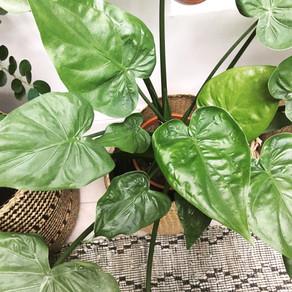 Alocasia: the misunderstood houseplant