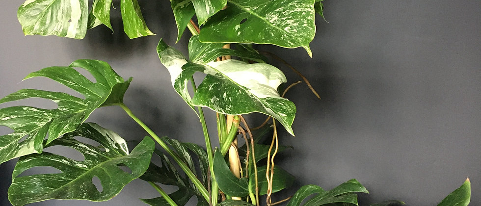Monstera variegata plant for delivery in Bristol. Monstera variegata Bristol. Indoor plant shop Bristol Monstera variegata.