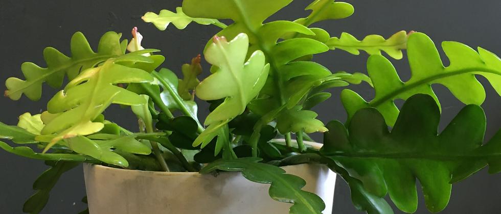 Best plants Bristol. Wild Leaf online plant delivery Bristol. Indoor plant delivery Clifton. Houseplant delivery Bristol.