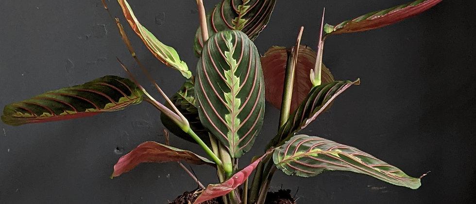 Maranta tricolour cheap houseplant available for delivery in Bristol. Plant shop open in Bristol. Cheap gift Bristol.