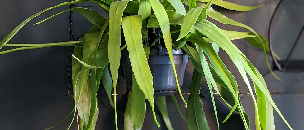 Epiphyllum pumilum for sale at Wild Leaf indoor plant online store. Houseplant online store open for delivery during lockdown