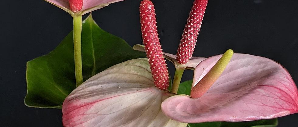 Anthurium 'Amalia Elegance'