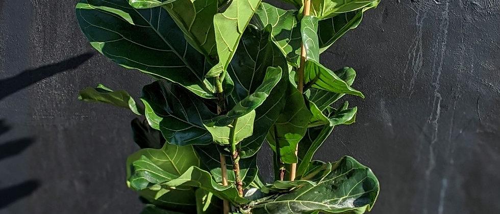 Top quality houseplants. Ficus lyrata (3 Stems) indoor houseplant. The best plants Bristol Wild Leaf Expensive interior plant